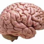 Brain John C Lindley III